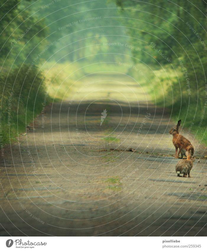 Kongress der Osterhasen Natur Baum ruhig Tier dunkel Wald Frühling Wege & Pfade Zusammensein Idylle Erde Wildtier Tierpaar wandern warten Team