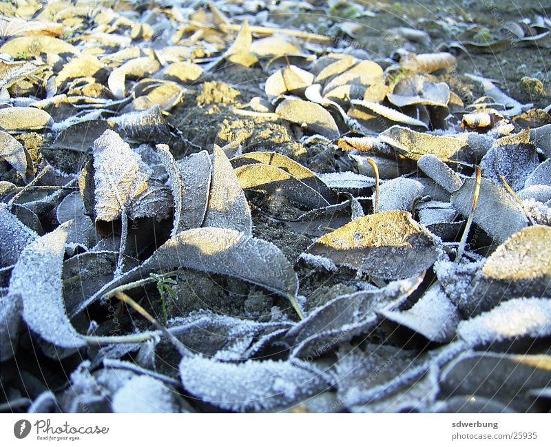 Vereiste Blätter bei -3 Grad Winter Blatt Eis Herbstlaub