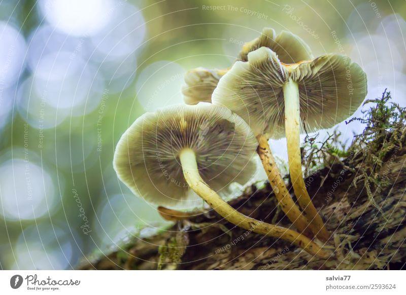 komplex | vergehen und entstehen Umwelt Natur Tier Himmel Herbst Pflanze Moos Pilzhut Lamellenjalousie holzig Wald Wachstum Vergänglichkeit Wandel & Veränderung