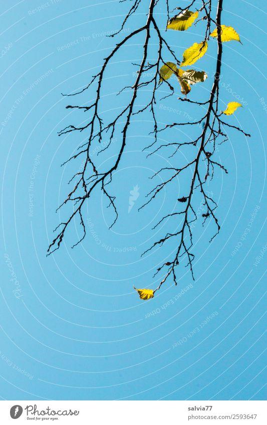 die letzten Blätter Umwelt Natur Himmel Wolkenloser Himmel Herbst Pflanze Baum Sträucher Blatt Zweige u. Äste Wald dehydrieren blau Vergänglichkeit