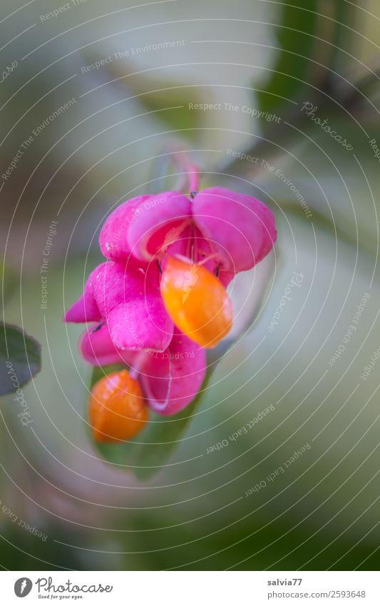 Pfaffenhütchen Natur Pflanze Herbst Sträucher Blatt Frucht Fruchtstand Zweig Park grün orange rosa ästhetisch einzigartig Farbe Kontrast Gift Farbfoto