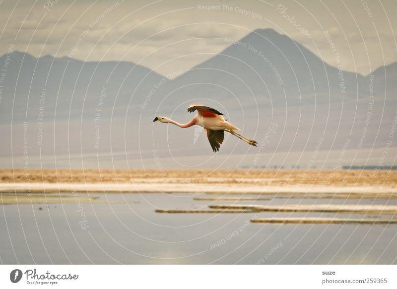 Flugsaurier exotisch Sommer Berge u. Gebirge Umwelt Natur Landschaft Urelemente Erde Himmel Klima Schönes Wetter See Tier Wildtier Vogel Flamingo 1 fliegen