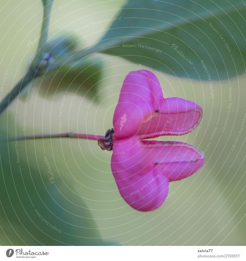 pinkes Früchtchen Natur Pflanze Herbst Sträucher Blatt Fruchtstand Pfaffenhütchen Park Wald außergewöhnlich grün rosa Farbe offen zweiteilig Symmetrie Kontrast