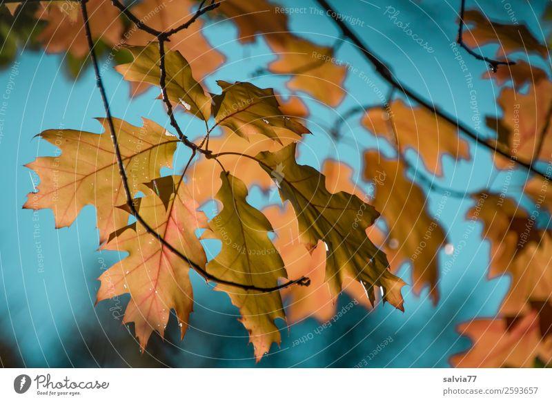 Eichenblätter Umwelt Natur Pflanze Luft Himmel Herbst Klima Schönes Wetter Baum Blatt Eichenblatt Zweige u. Äste Herbstfärbung Park Wald Vergänglichkeit