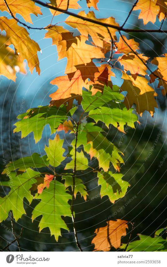 Verwandlung | Von grün nach braun Umwelt Natur Pflanze Herbst Klima Baum Blatt Zweige u. Äste Herbstfärbung Eichenblatt Wald blau Vergänglichkeit