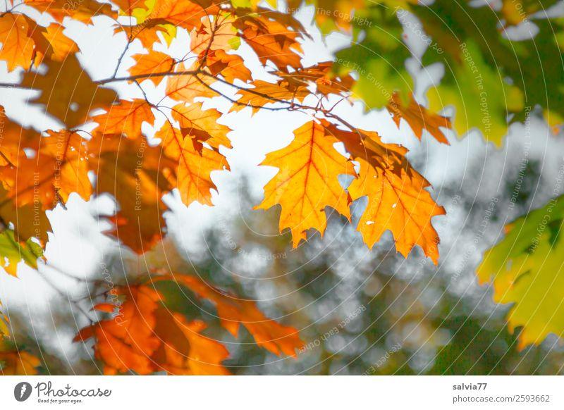 Eichenzweige Natur Herbst Pflanze Baum Blatt Zweige u. Äste Oktober Park Wald natürlich Wärme braun gelb grün Wandel & Veränderung Zeit Herbstfärbung