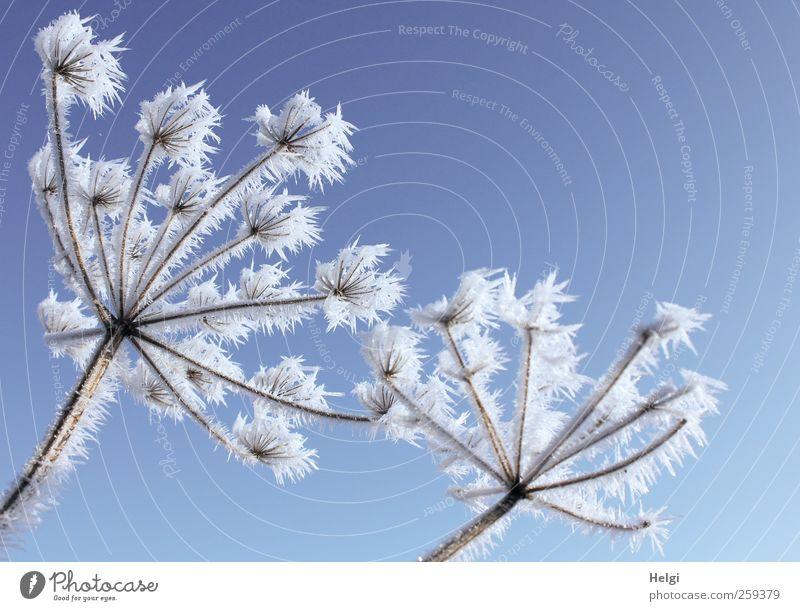 zackiger Raureif an vertrockneten Blütendolden vor blauem Himmel Umwelt Natur Pflanze Wolkenloser Himmel Winter Schönes Wetter Eis Frost Blume Wildpflanze