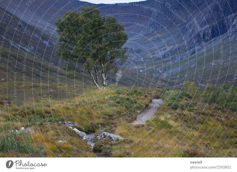 Birke am Fuße des Ben Nevis in Schottland Landschaft Sommer Herbst Baum Hügel Felsen Berge u. Gebirge blau grün Laubbaum wandern Wege & Pfade Schlangenlinie