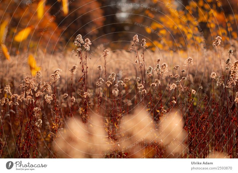 Herbstleuchten Natur Pflanze Blume Blatt Wärme Blüte natürlich Traurigkeit Tod orange braun Dekoration & Verzierung Feld glänzend