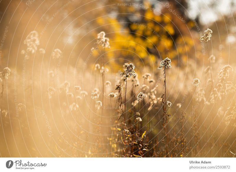 Herbstleuchten - Goldrute Natur Pflanze Blume Erholung ruhig Wärme gelb Innenarchitektur Blüte Wiese orange braun Design Zufriedenheit Dekoration & Verzierung