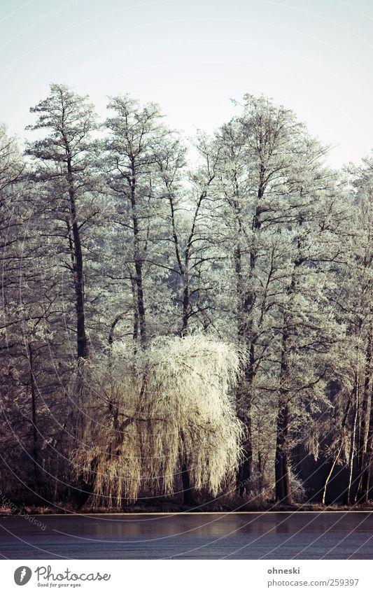 Kälte Winter Eis Frost Baum Weide Trauerweide Seeufer Idylle kalt Leben Farbfoto Außenaufnahme Menschenleer Textfreiraum oben Morgen