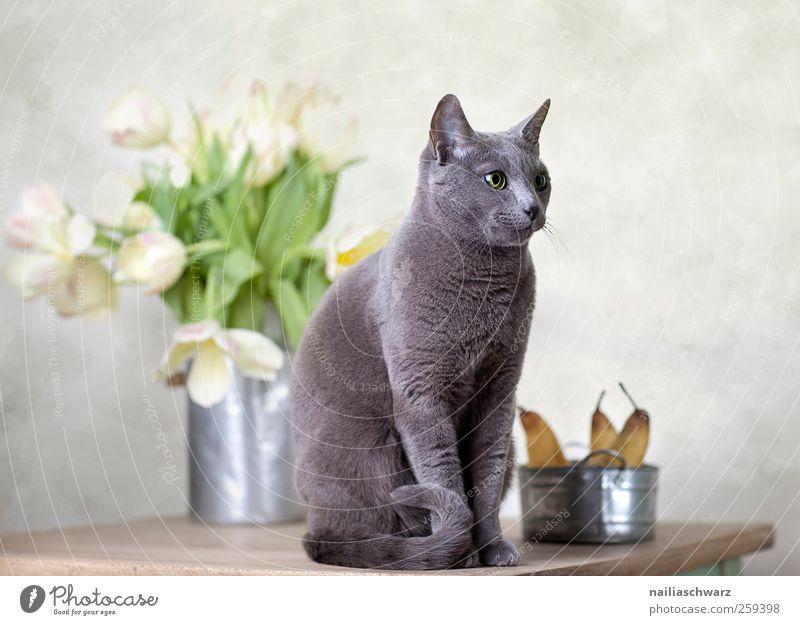 Russisch Blau Katze schön Pflanze Tier Erholung Ernährung Lebensmittel Holz Blüte Metall Kunst Frucht elegant ästhetisch beobachten Tulpe