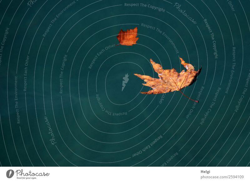 Herbstblätter auf dem Gardasee Umwelt Natur Pflanze Wasser Schönes Wetter Blatt Ahornblatt Blattadern Herbstfärbung See liegen Schwimmen & Baden dehydrieren