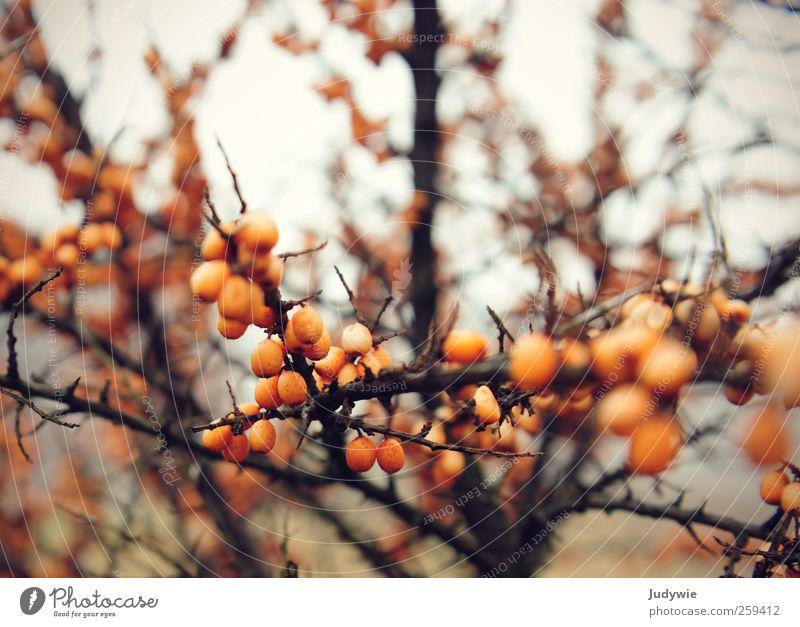 Sanddorn Natur Pflanze Winter Strand Herbst Umwelt kalt orange Frucht natürlich rund Kugel bleich Beeren Dorn Zweige u. Äste