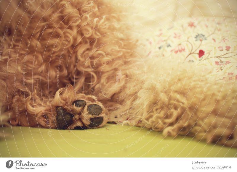 Weich harmonisch Wohlgefühl Erholung ruhig Wohnung Schlafzimmer Tier Haustier Hund Fell Pfote liegen weich Warmherzigkeit Locken Pudel Bett Schnörkel