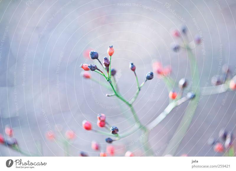 seed heads Umwelt Natur Pflanze Frühling Sträucher Wildpflanze ästhetisch natürlich blau grün rot Fruchtstand Farbfoto Außenaufnahme Menschenleer