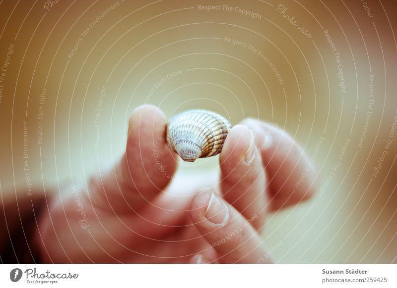 to an ocean Erde Sand Küste Seeufer Flussufer Strand entdecken ansammeln Muschel Muschelsand Muschelform Hand Finger Wärme Warmes Licht Schatz Sammelgut klein
