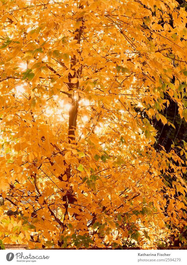 Goldrausch Umwelt Natur Frühling Herbst Schönes Wetter Baum Blatt Garten Park Wald braun gelb gold orange rot weiß Laub Laubbaum leuchtende Farben hell Farbfoto