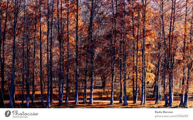 Herbst Rotbaumwald in der Herbstsaison Abenteuer Freiheit Sonne Umwelt Natur Landschaft Schönes Wetter Pflanze Baum Blatt Grünpflanze Park Wald alt