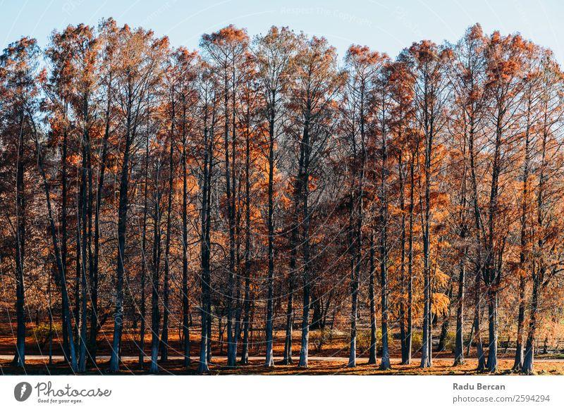 Herbst Rotbaumwald in der Herbstsaison Ferien & Urlaub & Reisen Abenteuer Sonne Umwelt Natur Landschaft Schönes Wetter Pflanze Baum Blatt Grünpflanze Park Wald