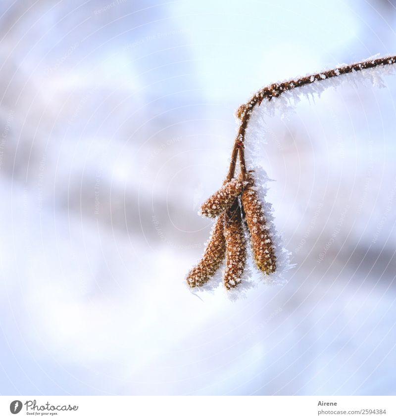 Härtetest schön weiß Winter kalt braun Eis Schönes Wetter Sträucher Coolness Frost Zweig frieren kämpfen Ausdauer Überleben Aufgabe