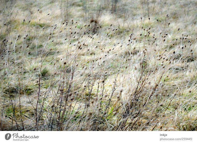 Gräser im Wind Natur Pflanze Herbst Gras Wildpflanze Blüte Garten Wiese dehydrieren Wachstum dünn lang natürlich schön trocken viele wild braun Vergänglichkeit