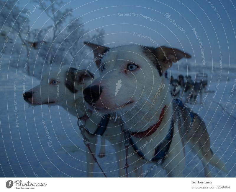 2 Hundestärken Hund Natur blau Tier Auge kalt Eis Tierpaar Frost Fell Geschirr Schweden Schnauze Skandinavien Eiszapfen Rudel