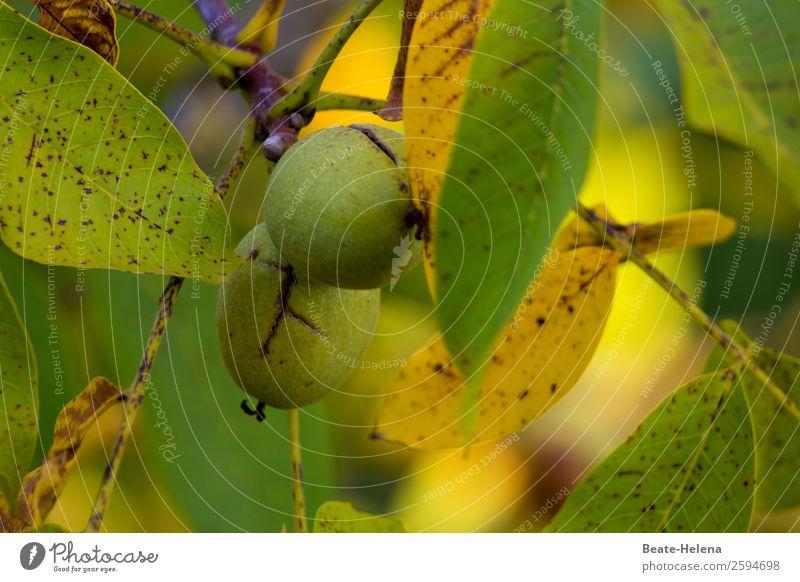 Die Walnuss: ein Hochgenuss Lebensmittel Ernährung Bioprodukte Vegetarische Ernährung Gesundheit Gesunde Ernährung Fitness Natur Herbst Baum Nutzpflanze