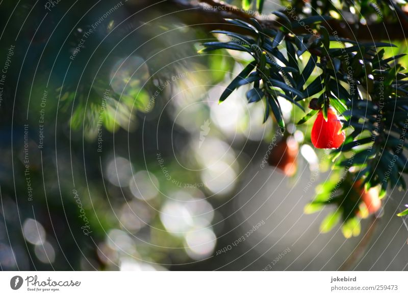 rote Kuller Natur grün Pflanze Frucht Zweig Samen Tannennadel Nadelbaum Eibe