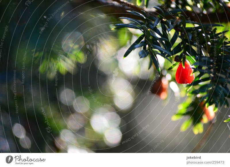 rote Kuller Natur Pflanze Eibe Nadelbaum Tannennadel Zweig Frucht Samen grün Farbfoto Außenaufnahme Menschenleer Textfreiraum links Textfreiraum unten Tag