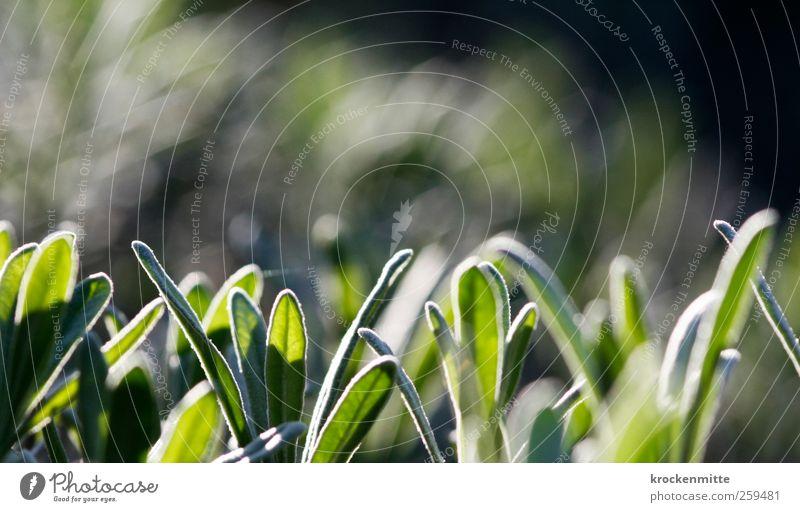Tau des Meeres Natur Pflanze Rosmarin Duft grün Kräuter & Gewürze Blatt Nutzpflanze Geschmackssinn Kräutergarten Heilpflanzen Topfpflanze Grünpflanze