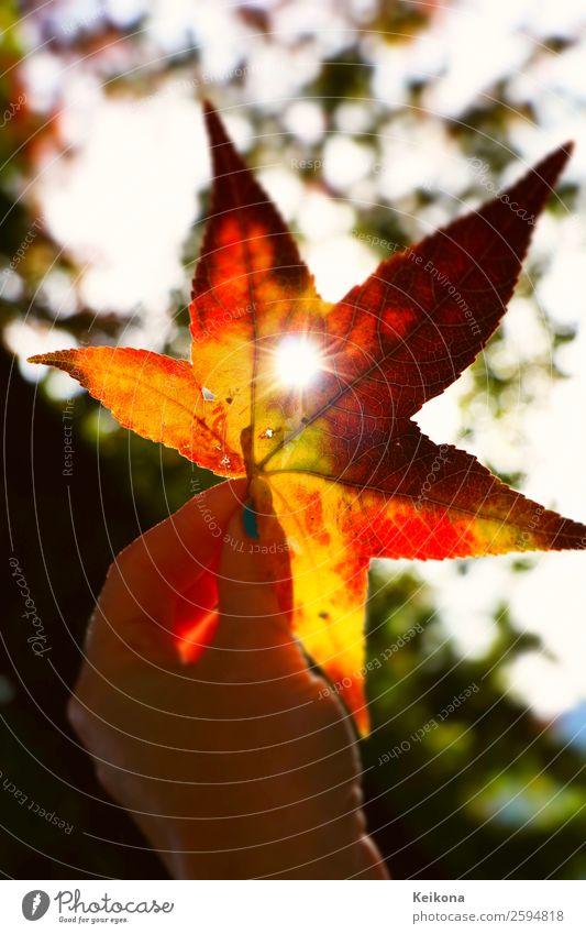 Sun shining through sweetgum tree leaf Sonne Herbst Wetter Schönes Wetter Baum genießen orange rot Warmherzigkeit Liebe schön amberbaum seesternbaum Hand