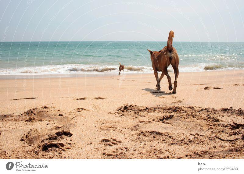 Tramps Sand Wasser Sonne Schönes Wetter Küste Wellen Spuren Hund 2 Tier Rudel Tierpaar Tierfamilie laufen Zusammensein Neugier trist Wärme weich Freundschaft