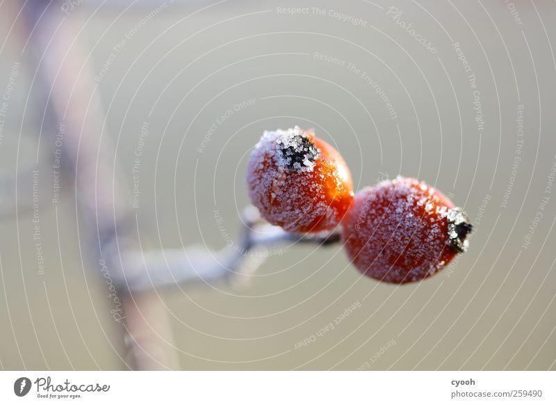 Puderzucker Natur Wasser rot Pflanze Winter ruhig kalt Schnee grau klein Garten Park Eis Wachstum Frost Sträucher