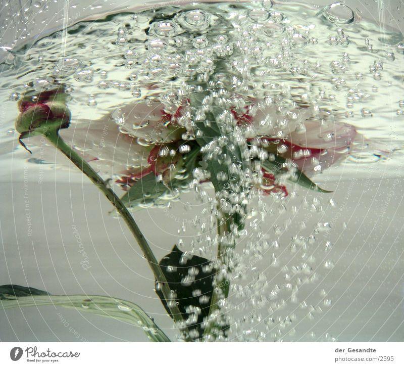 pfingstrose Natur Wasser Blume Bewegung sprudelnd Fototechnik Pfingstrose