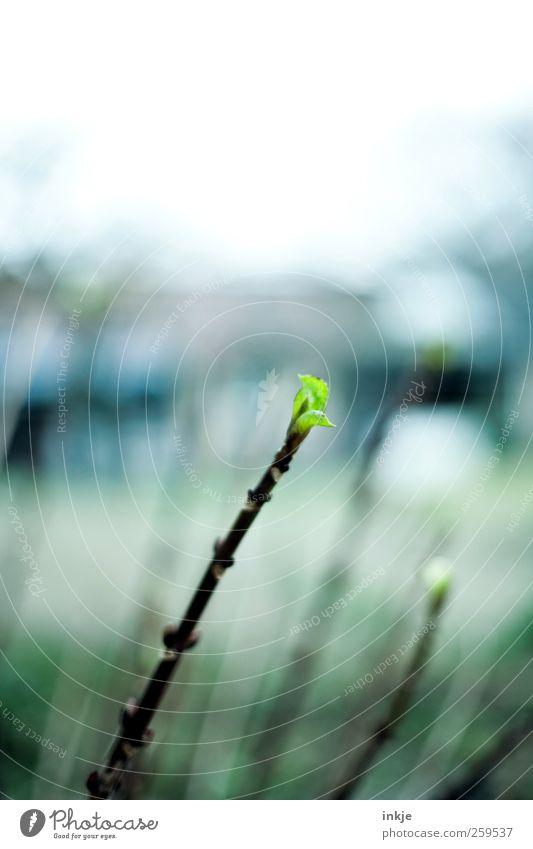 Frühlingsboten Natur Pflanze Himmel Herbst Winter Klima Wetter Sträucher Blatt Grünpflanze Blattknospe Garten Park Wachstum dünn kalt lang schön grün Gefühle
