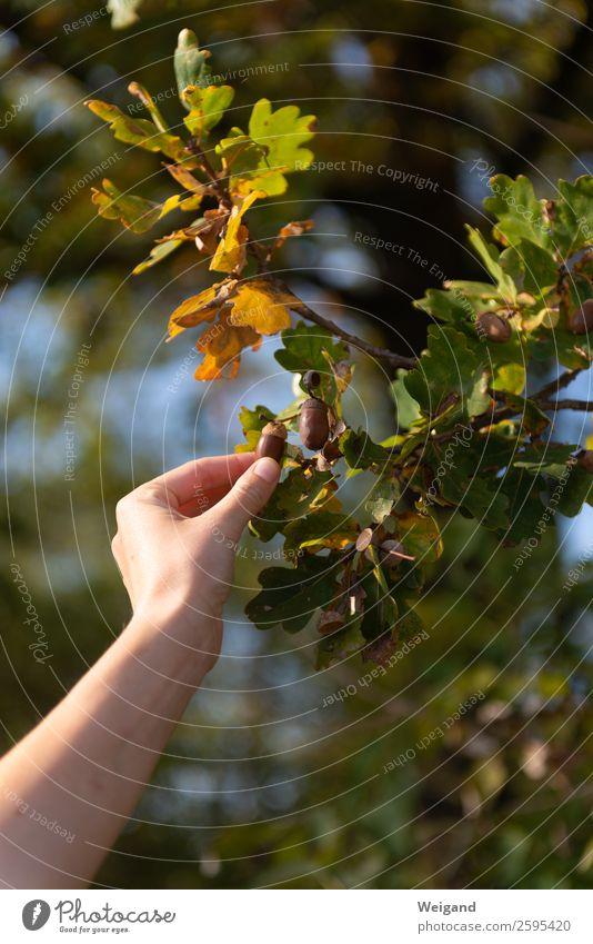 Eichenglück II Sinnesorgane Erntedankfest Umwelt Natur Herbst Baum Blatt Feld Wald Freundlichkeit Vorfreude Begeisterung Optimismus Erfolg Kraft Herbstlaub
