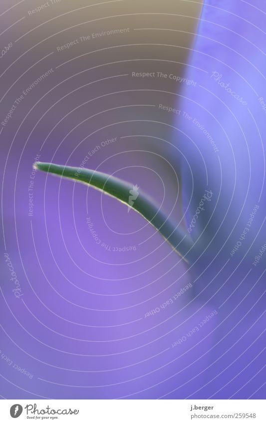 Pilus Umwelt Natur Pflanze Blüte exotisch außergewöhnlich dünn Erotik einzigartig schön Spitze blau grün rosa ästhetisch Phallussymbol Blütenblatt