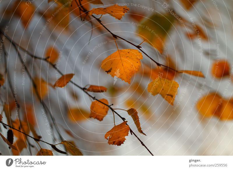 Der Wind hat sie mir genommen Umwelt Natur Pflanze Herbst Wetter Baum Blatt gold grau schwarz orange Ast Birke wehen alt vergangen Strahlung Farbfoto