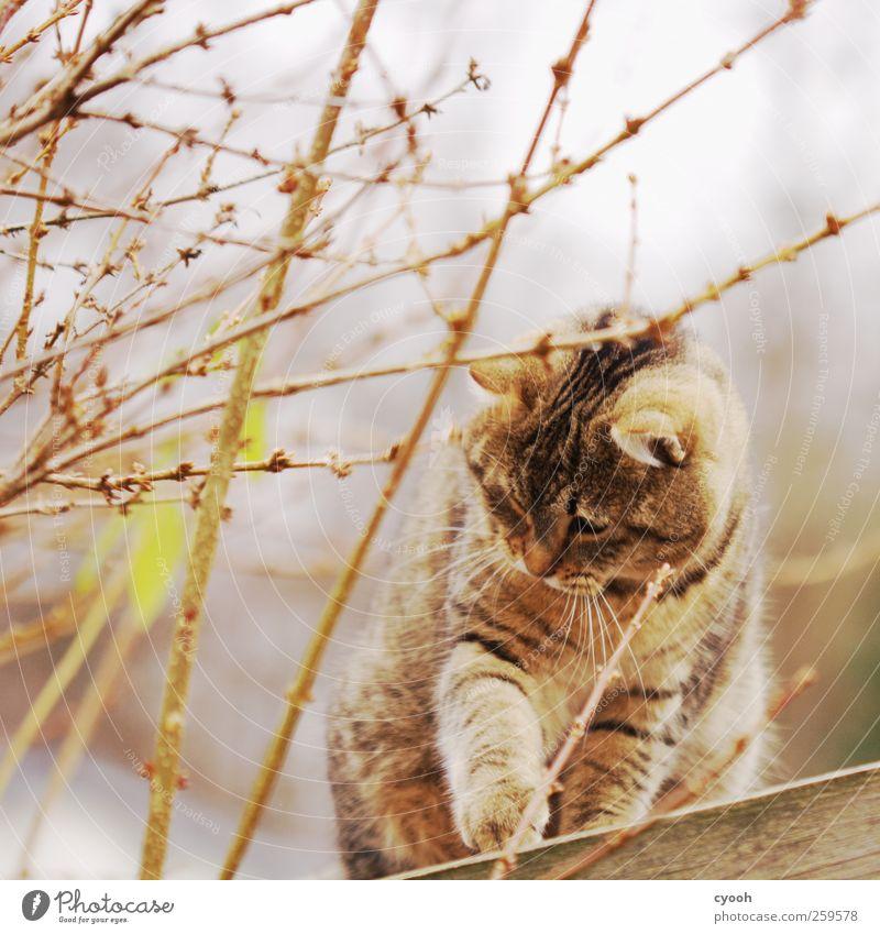 Spielst du mit mir? Tier Haustier Wildtier Katze 1 Bewegung entdecken warten dunkel Freundlichkeit schön Neugier niedlich braun gold bewegungslos beobachten