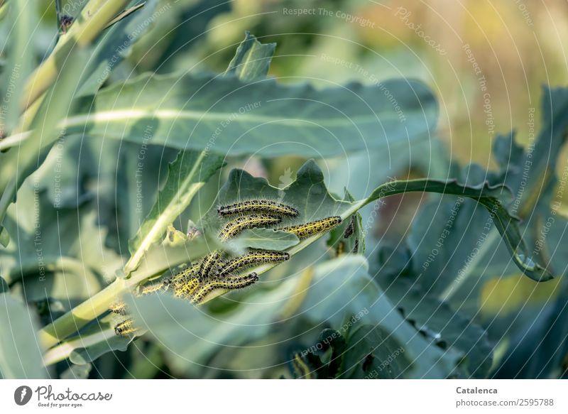 Freßgemeinschaft Natur Pflanze Tier Sommer Blatt Nutzpflanze Brokkoli Garten Gemüsegarten Raupe Kohlweißling Schmetterling Tiergruppe Fressen krabbeln braun