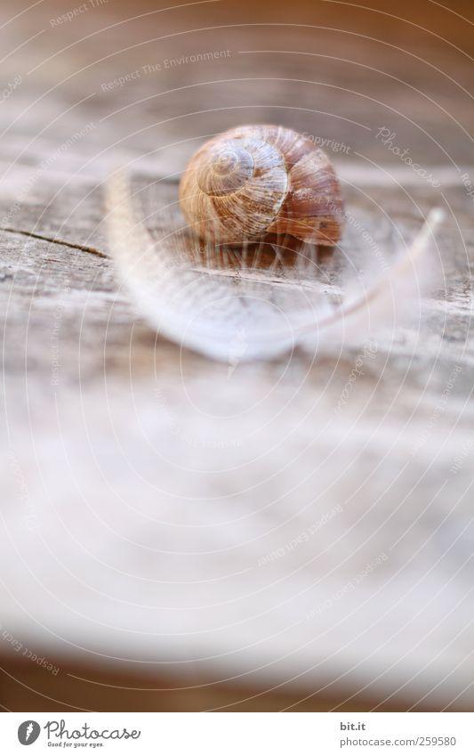 natürlich dämmen Umwelt Natur Tier Schnecke Feder Schneckenhaus liegen schlafen Häusliches Leben Wärme braun Holz Holzbrett Holzfußboden federartig