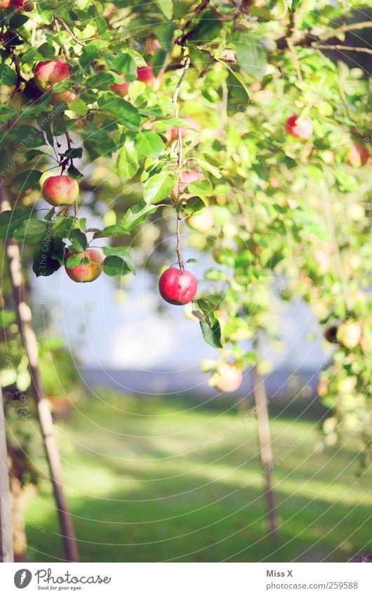 Apfelbaum Baum rot Sommer Herbst Ernährung Lebensmittel klein Wachstum süß Apfel lecker saftig Apfelbaum Streuobstwiese