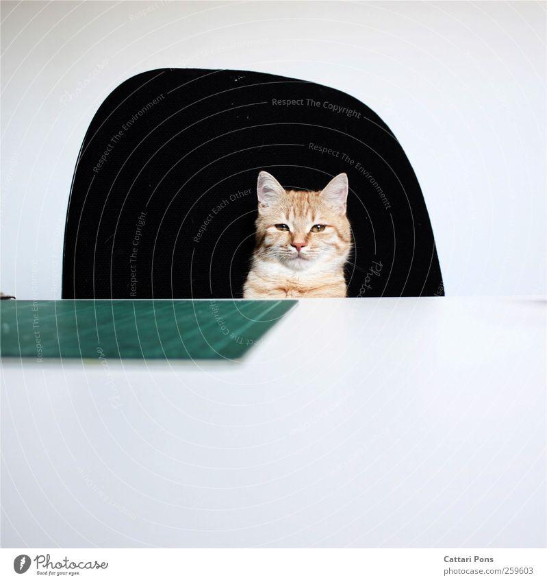 Mrs. President Tier Haustier Katze 1 beobachten sitzen schön einzigartig weich Coolness Erfolg Büro Raum Schreibtisch Vorgesetzter Chefsessel rot Farbfoto