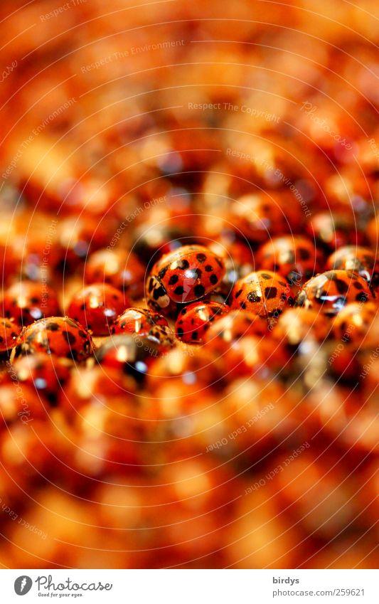 Blind Date Natur rot schwarz Leben Zusammensein außergewöhnlich Tiergruppe viele Team berühren rein Unendlichkeit fantastisch Insekt Zusammenhalt Menschenmenge