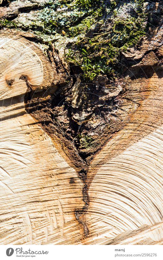 Moosdreieck oder was? Pflanze Blume Baumstumpf Maserung Holz außergewöhnlich authentisch natürlich trocken braun einzigartig Natur skurril Zerstörung Baumrinde
