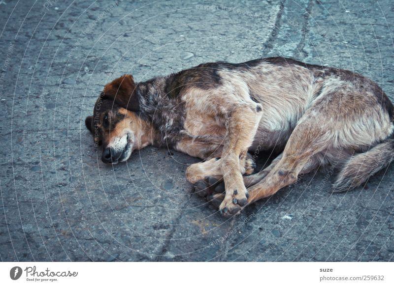 Straßenhund Tier Haustier Hund 1 liegen schlafen alt trist grau Traurigkeit Asphalt Chile Südamerika Mischling schäbig Müdigkeit Einsamkeit Hundeblick Farbfoto