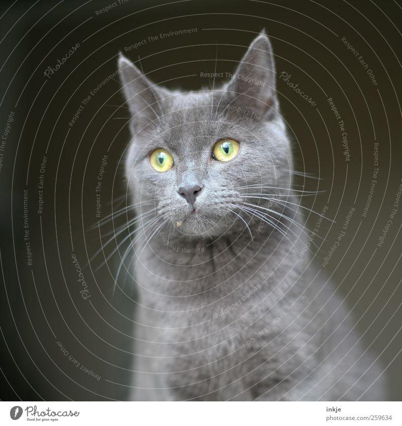 Fussel Haustier Katze Tiergesicht Hauskatze Schnurrhaar 1 beobachten entdecken hocken Blick warten einfach schön Neugier niedlich Spitze weich grau Gefühle