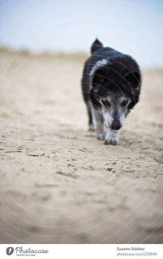 hiddensee.ich.komme. Hund Natur Strand Tier Küste laufen Spaziergang Fell Nordsee Haustier langsam Porträt Hundeschnauze Gassi gehen pflegebedürftig Hunderennen