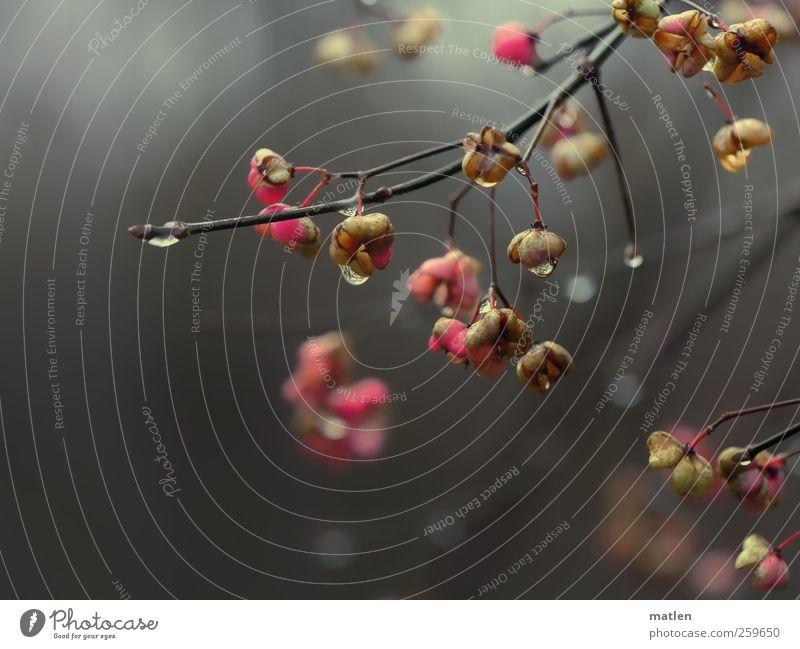 Januarwetter Wasser Pflanze Winter grau Regen rosa nass natürlich Wassertropfen Sträucher schlechtes Wetter tropfend Pfaffenhütchen